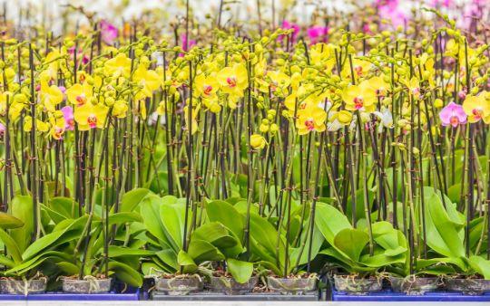 kom in de kas orchideeën